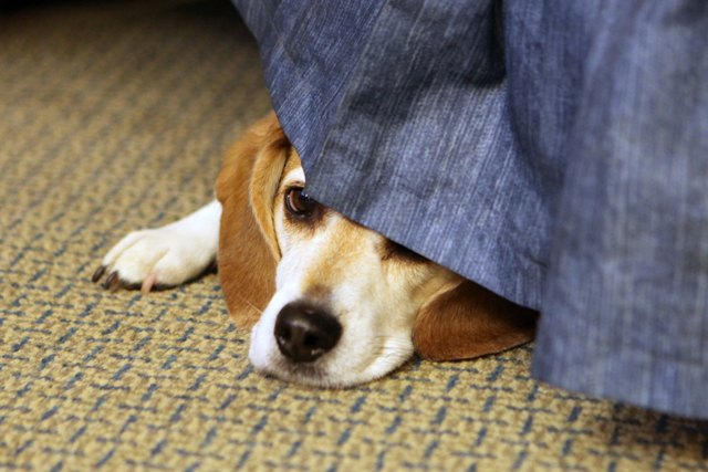 AU SOC alum Jim Bradys pet beagle, Fred. (credit: Joan Brady/fredandhank.typepad.com)